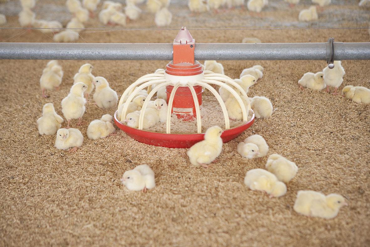 Pollitos dentro de comedero